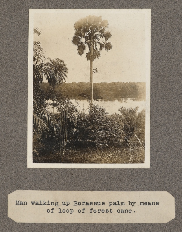 Man walking up Borassus palm by means of loop of forest cane.