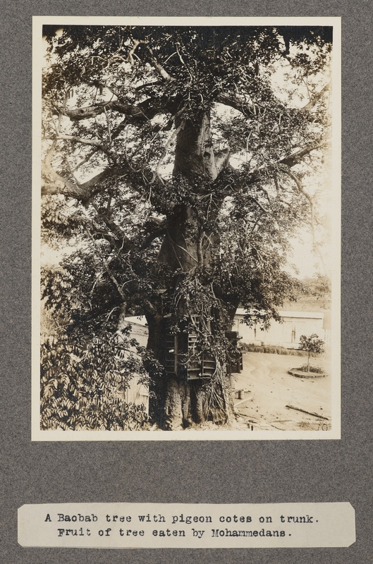 A baobab tree with pigeon cotes on trunk. Fruit of the tree eaten by Mohammedans