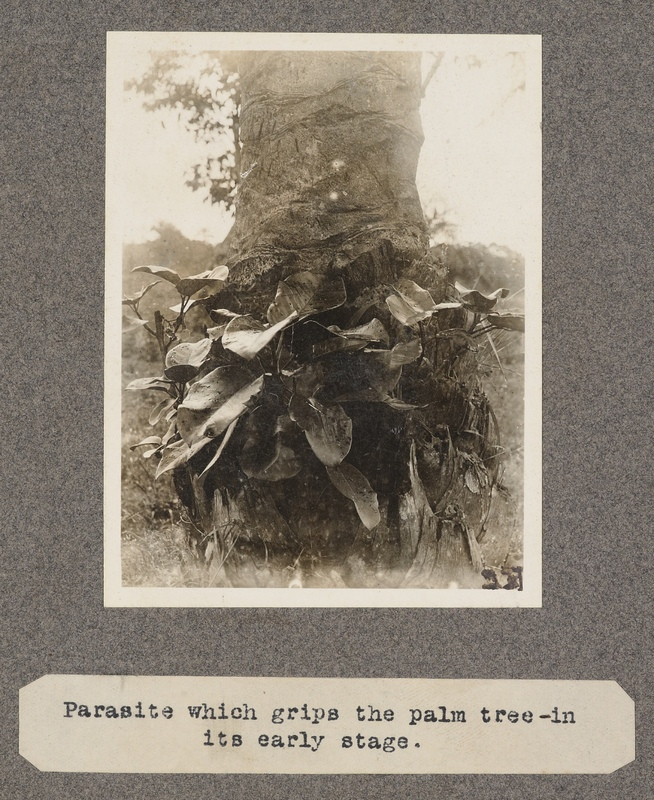 Parasite which grips the palm tree – in its early stage