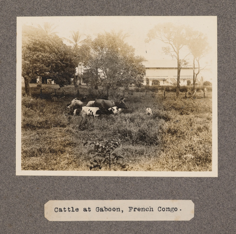 Cattle at Gaboon, French Congo