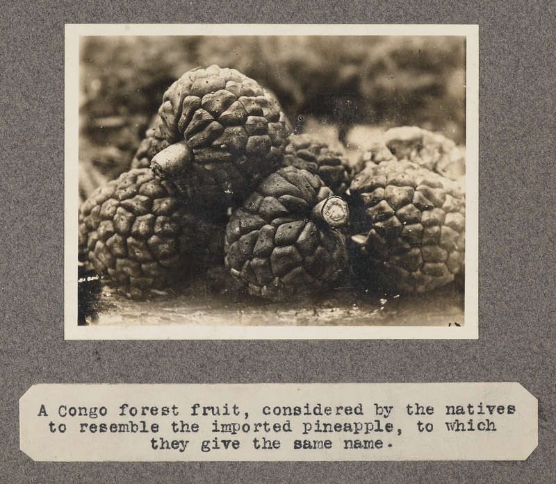 A Congo forest fruit, considered by the natives to resemble the imported pineapple, to which they give the same name