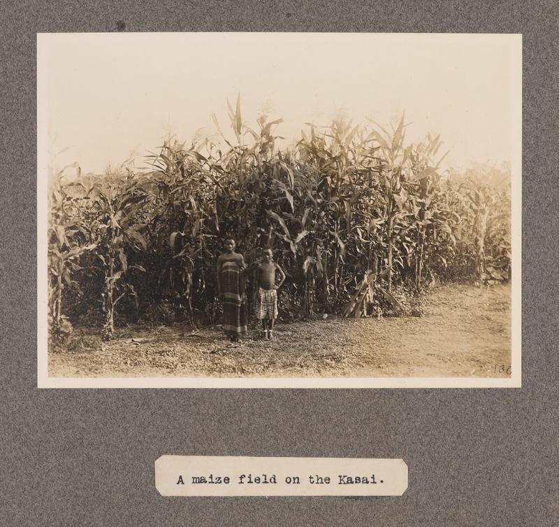 A maize field on the Kasai