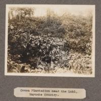 Cocoa plantation near the Luki, Mayumbe Country