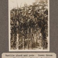Vanilla plant and pods. Temvo Cocoa Plantation. Mayumbe Country.