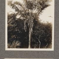Flowering palm at Lukolela, upper Congo