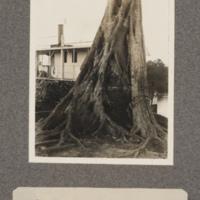 Palm tree in grip of parasite, Kasai River