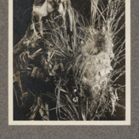 Birds' nest and grass from the Kasai
