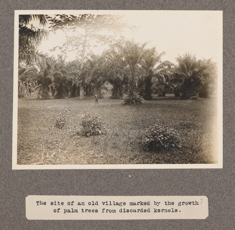 The site of an old village marked by the growth of palm trees from discarded kernels