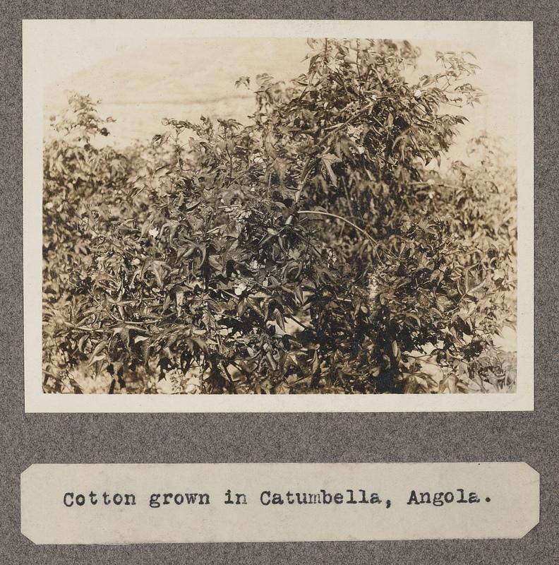 Cotton grown in Catumbella, Angola